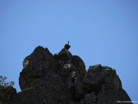 Buitre en una roca en Monfragüe