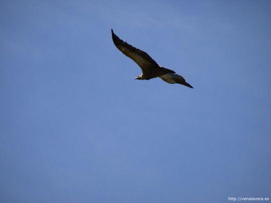 Buitre volando en Monfragüe